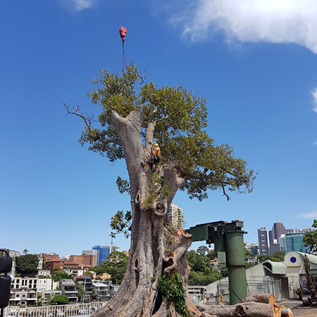 large tree removal canberra