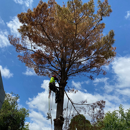paramount tree removal canberra act aus (1)