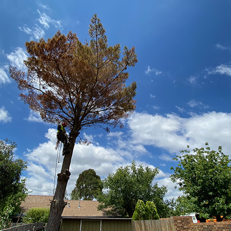 paramount tree removal canberra act aus (3)